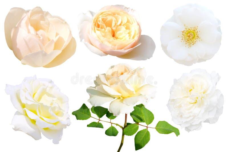 Sistema de la rosa del blanco aislado foto de archivo libre de regalías