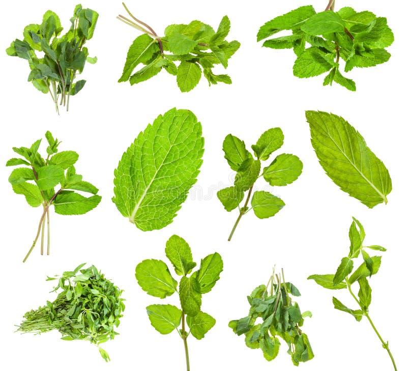 Sistema de las hierbas verdes frescas de la menta aisladas en blanco imagen de archivo libre de regalías