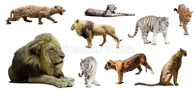Sistema de león masculino y de otros gatos monteses grandes imagen de archivo