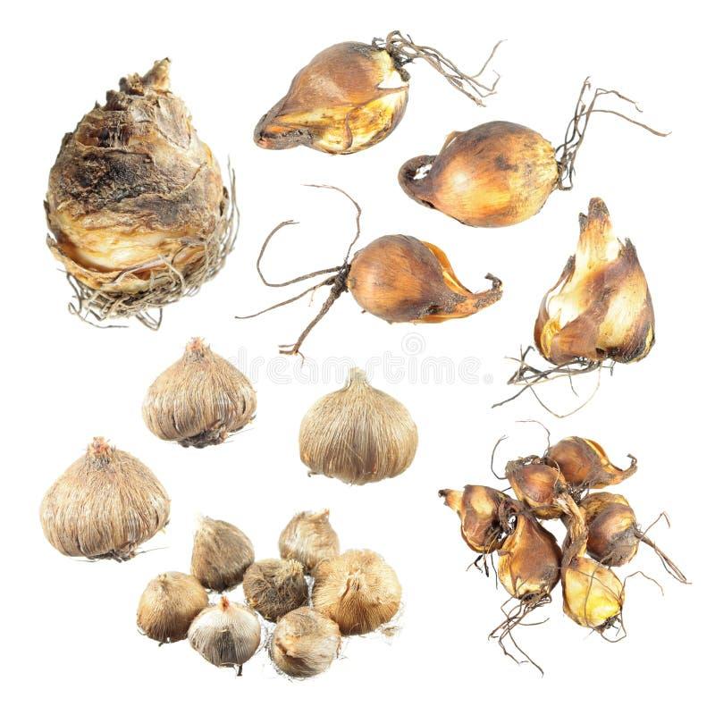 Sistema de los bulbos de diversas plantas de jardín aisladas en el fondo blanco Bulbos del ixia, de las flores del tigre y del li imagenes de archivo