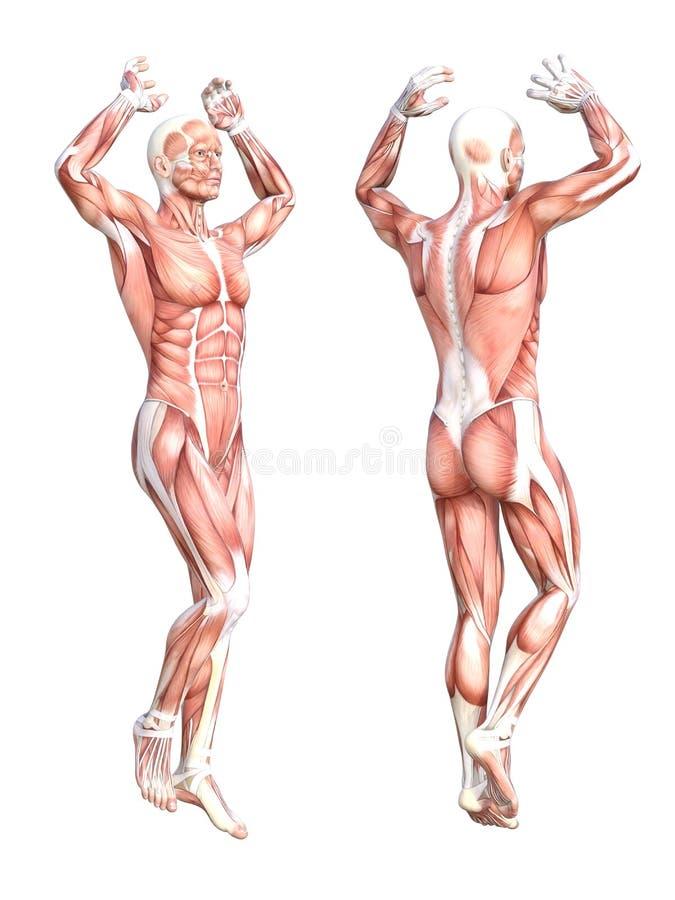 Sistema de músculo sin piel del cuerpo humano SE stock de ilustración