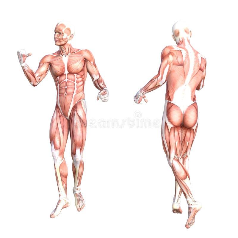 Sistema De Músculo Sin Piel Sano Del Cuerpo Humano De La Anatomía ...
