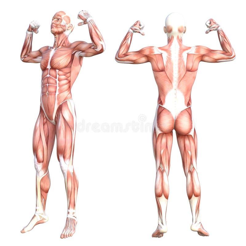 Sistema de músculo sin piel sano del cuerpo humano de la anatomía ilustración del vector