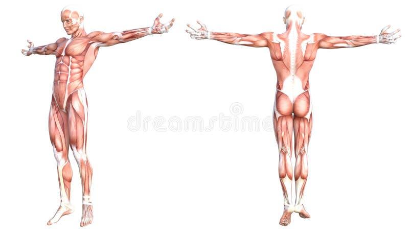 Sistema de músculo sin piel sano del cuerpo humano de la anatomía stock de ilustración