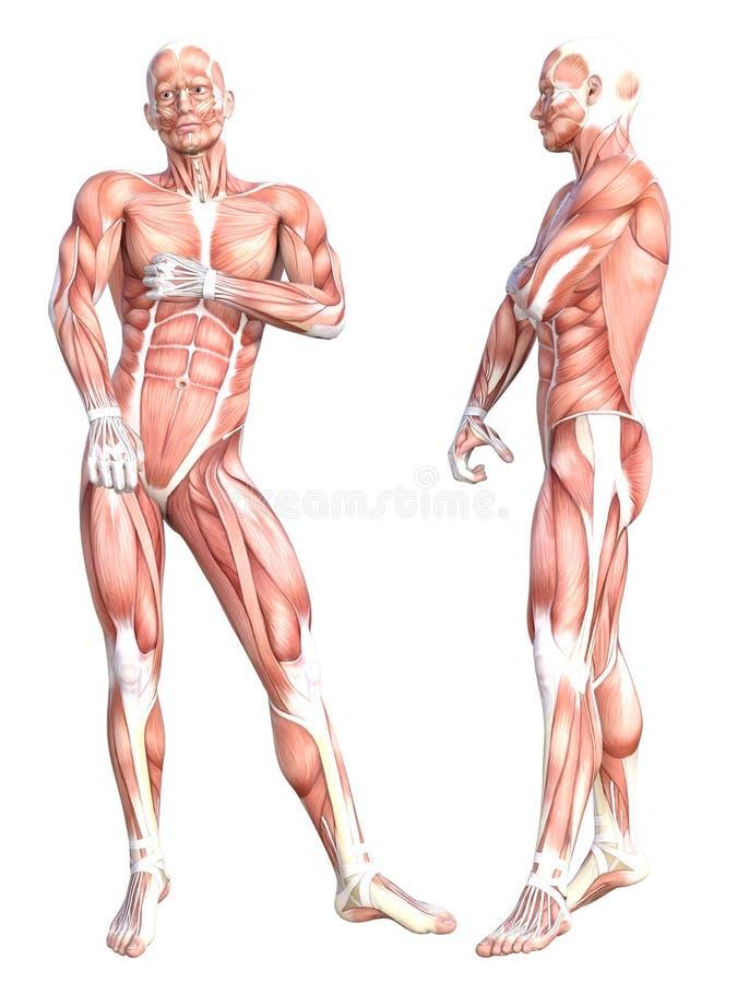 Sistema de músculo sin piel sano del cuerpo humano de la anatomía SE libre illustration