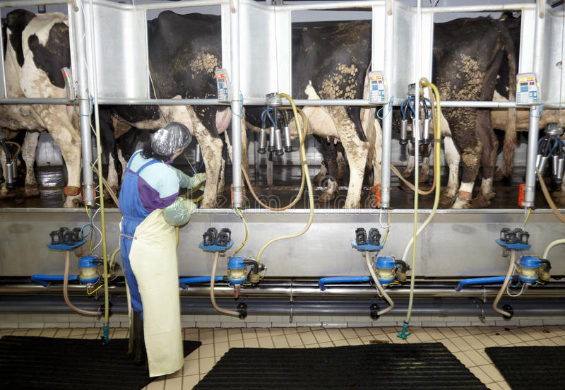 Sistema de ordeño automático de la leche de la agricultura de la granja de la vaca imagen de archivo libre de regalías