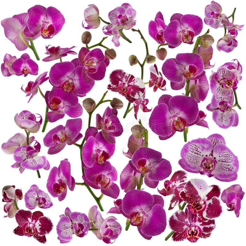 Sistema de orquídeas rosadas y violetas hermosas aisladas en blanco imagen de archivo libre de regalías
