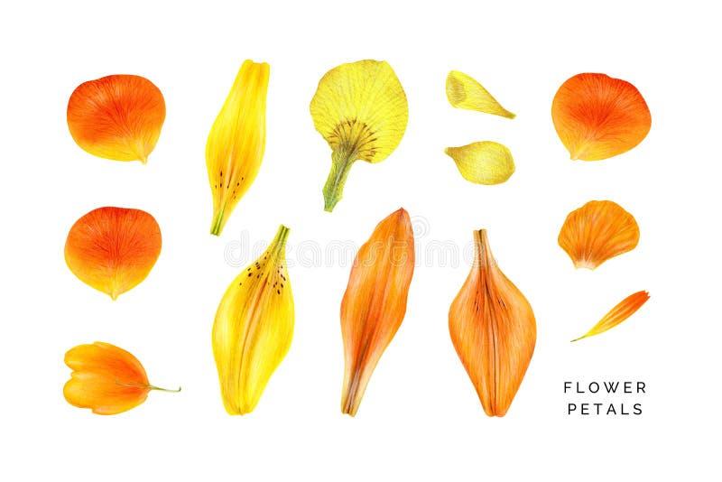 Sistema de pétalos amarillos y anaranjados Rose, lirio, iris, globeflower ilustración del vector