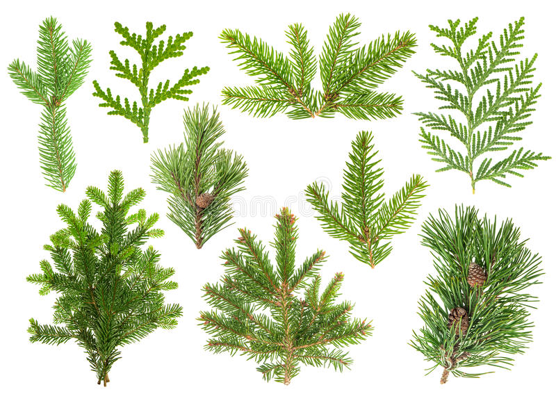 Sistema de ramas de árbol conífero Picea, pino, thuja, abeto imagen de archivo libre de regalías