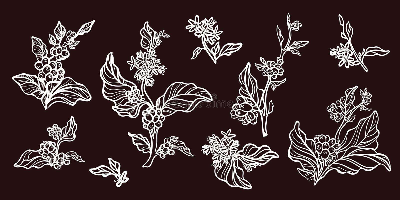 Sistema de ramas del cafeto con los granos de café Dibujo botánico del contorno Vector libre illustration
