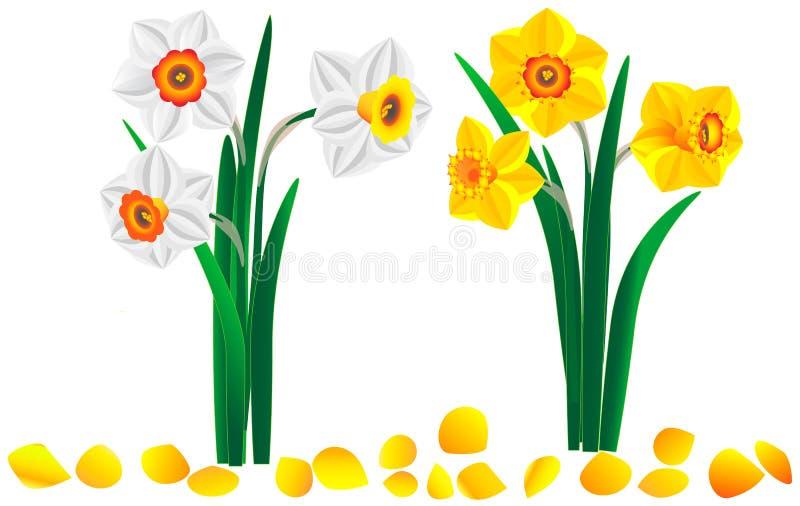 Sistema de ramos amarillos y blancos hermosos de narcisos ilustración del vector