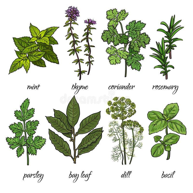 Sistema de romero, menta, tomillo, coriandro, perejil, albahaca, hierbas del eneldo ilustración del vector