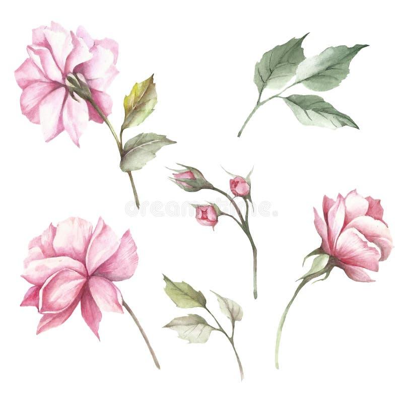Sistema de rosas de las flores Ejemplo de la acuarela del drenaje de la mano libre illustration