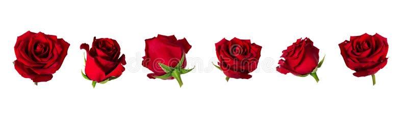 Sistema de seis flowerheads hermosos de la rosa del rojo con los sépalos aislados en el fondo blanco fotografía de archivo