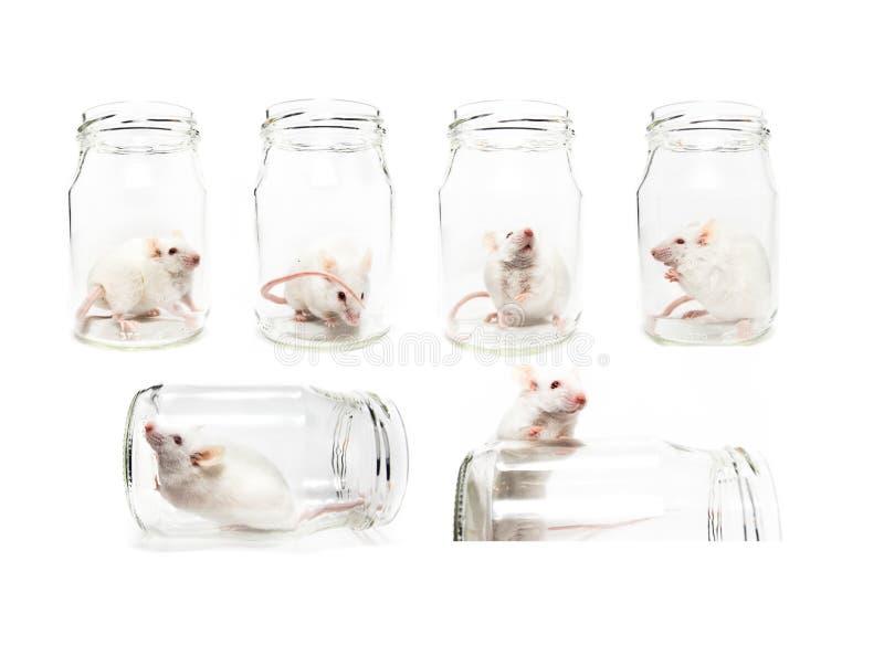 Sistema de seis fotos divertidas de ratón blanco del laboratorio en un tarro aislado imagen de archivo