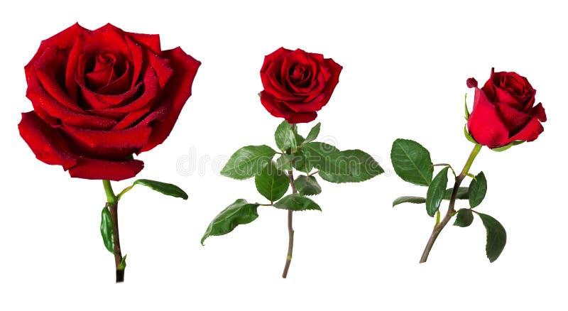 Sistema de tres rosas rojas vivas hermosas en troncos con las hojas del verde aisladas en el fondo blanco fotos de archivo