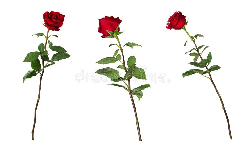 Sistema de tres rosas rojas vivas hermosas en troncos largos con las hojas del verde aisladas en el fondo blanco fotografía de archivo libre de regalías