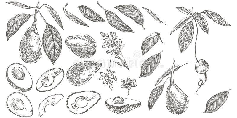 Sistema del aguacate Ejemplos dibujados mano del vector Aguacate, bosquejo cortado de los pedazos, de la mitad, de la hoja y de l libre illustration
