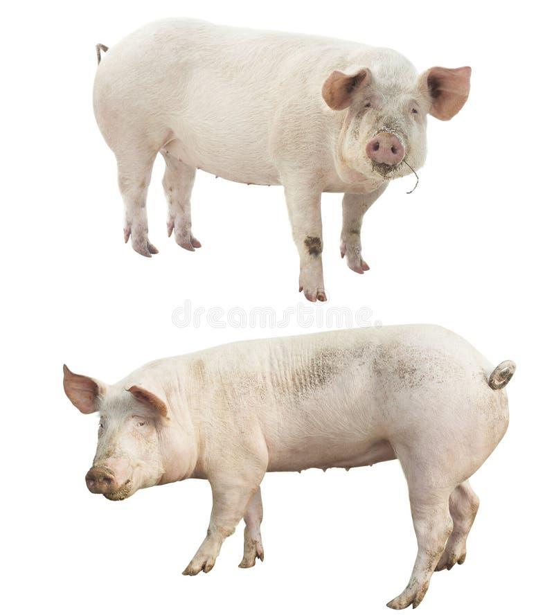 Sistema del animal del campo Cerdo aislado foto de archivo