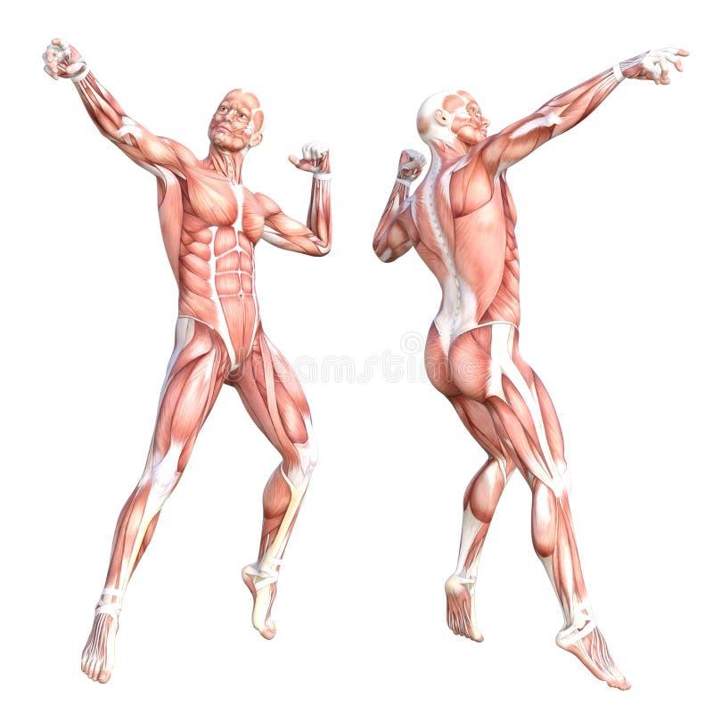 Fantástico Músculo De Cuerpo Colección - Imágenes de Anatomía Humana ...