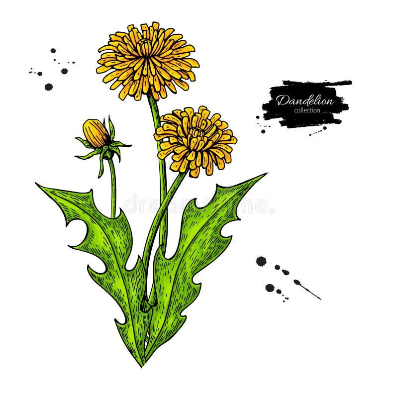 Sistema del dibujo del vector de la flor del diente de león Planta silvestre y hojas aisladas ilustración del vector