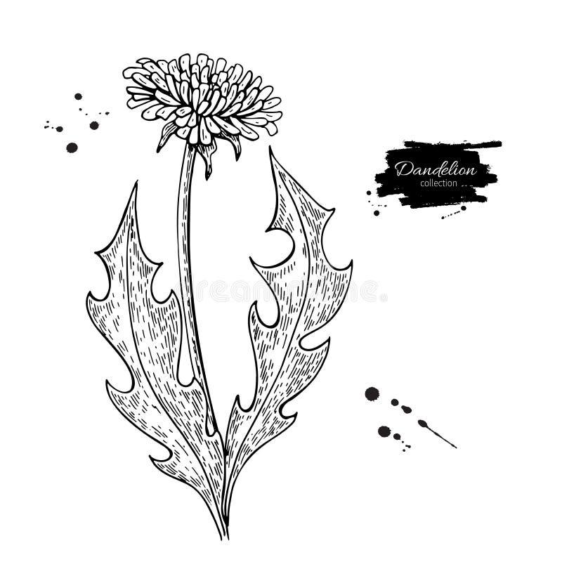 Sistema del dibujo del vector de la flor del diente de león Planta silvestre y hojas aisladas Herbario grabado stock de ilustración