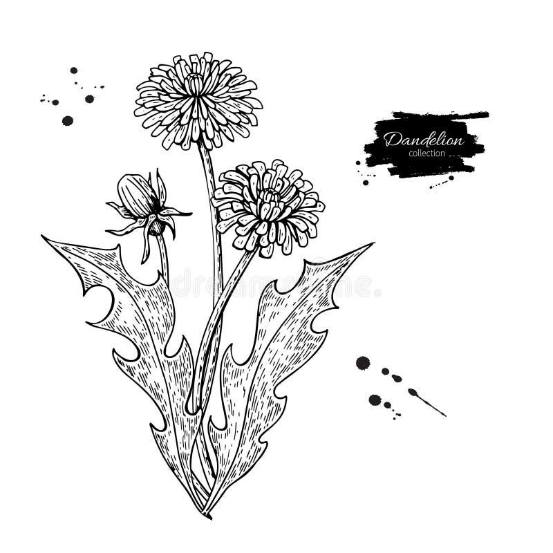 Sistema del dibujo del vector de la flor del diente de león Planta silvestre y hojas aisladas Herbario grabado libre illustration