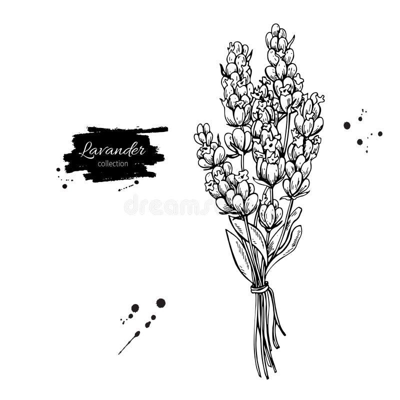 Sistema del dibujo del vector de la lavanda Flor salvaje y hojas aisladas Ejemplo grabado herbario del estilo ilustración del vector