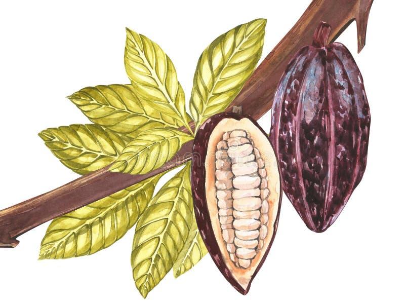 Sistema del ejemplo botánico Colección de la fruta del cacao de la acuarela aislada en el fondo blanco Cacao exótico dibujado man stock de ilustración