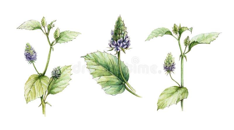 Sistema del ejemplo de la acuarela de corylifolia, de flores y de hojas del Psoralea Hierbas heathy exhaustas de Bakuchiol de la  libre illustration