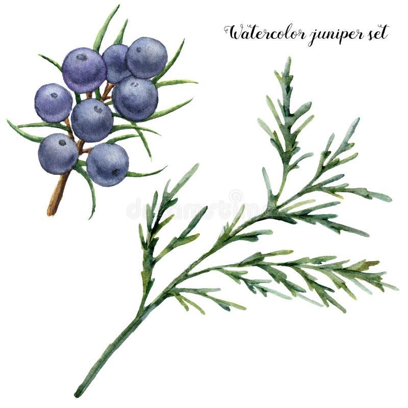 Sistema del enebro de la acuarela Bayas pintadas a mano y rama azules del enebro aislada en el fondo blanco Floral botánico ilustración del vector