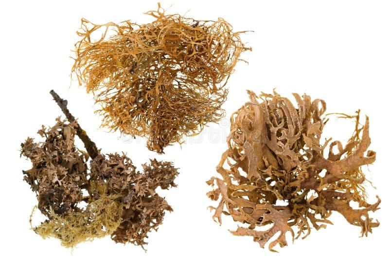 Sistema del pedazo secado de liquen en color marrón aislado en blanco imagen de archivo