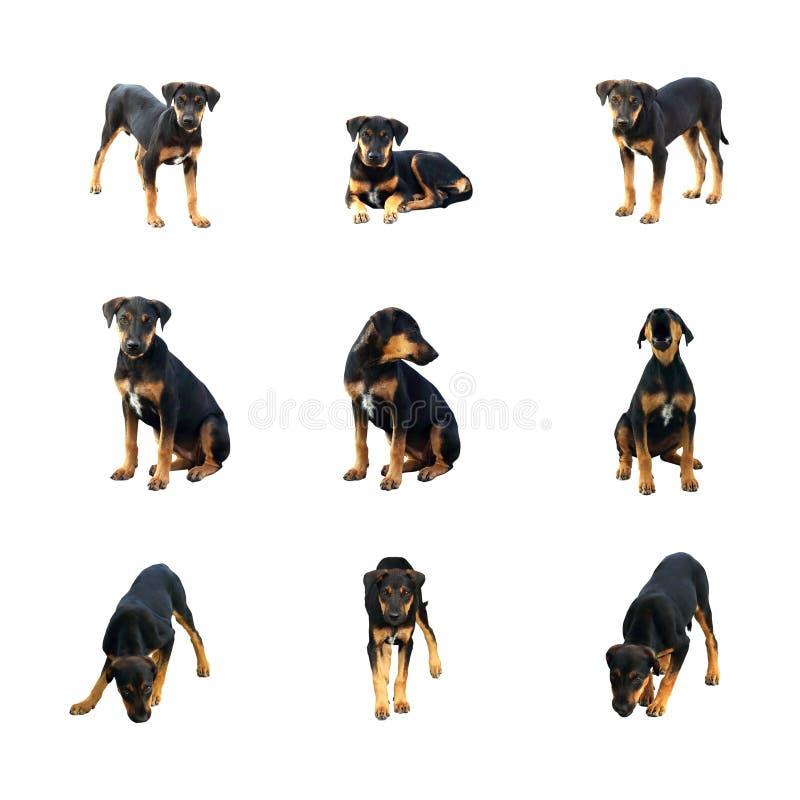 Sistema del pequeño perro negro con diversas emociones, aislado en el fondo blanco, foco selectivo ilustración del vector