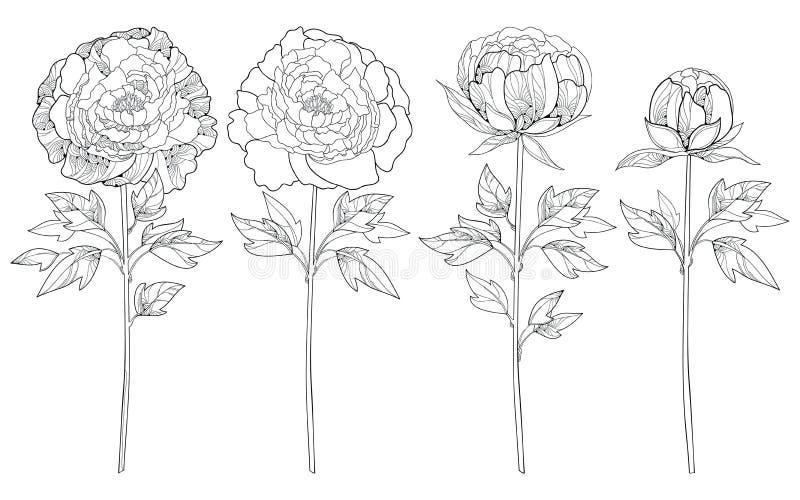 Sistema del vector con la peonía del esquema en negro aislada en el fondo blanco Elementos florales adornados con la flor, el bro stock de ilustración