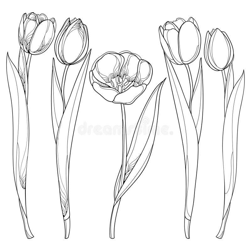Sistema del vector con las flores de los tulipanes del esquema aisladas en blanco Flor del tulipán en estilo del contorno ilustración del vector