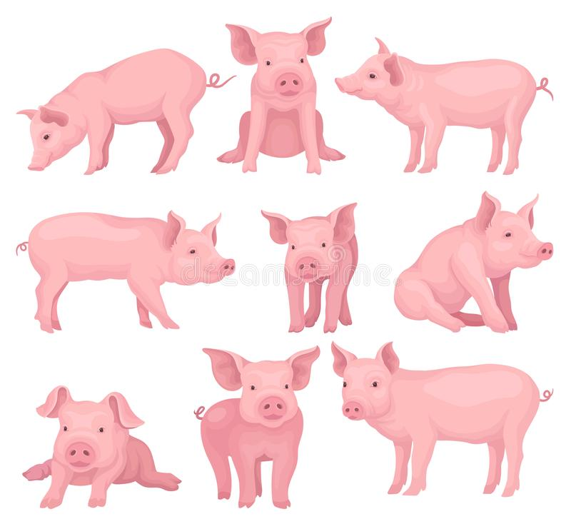 Sistema del vector de cerdos en diversas actitudes Animal del campo lindo con la piel rosada, el hocico plano, los enganches y lo stock de ilustración