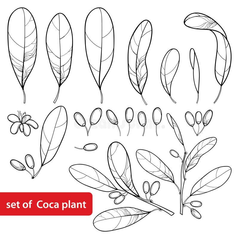 Sistema del vector de la planta de la cocaína del esquema o coca del Erythroxylum, manojo, hoja, flor y fruta en negro aislada en libre illustration