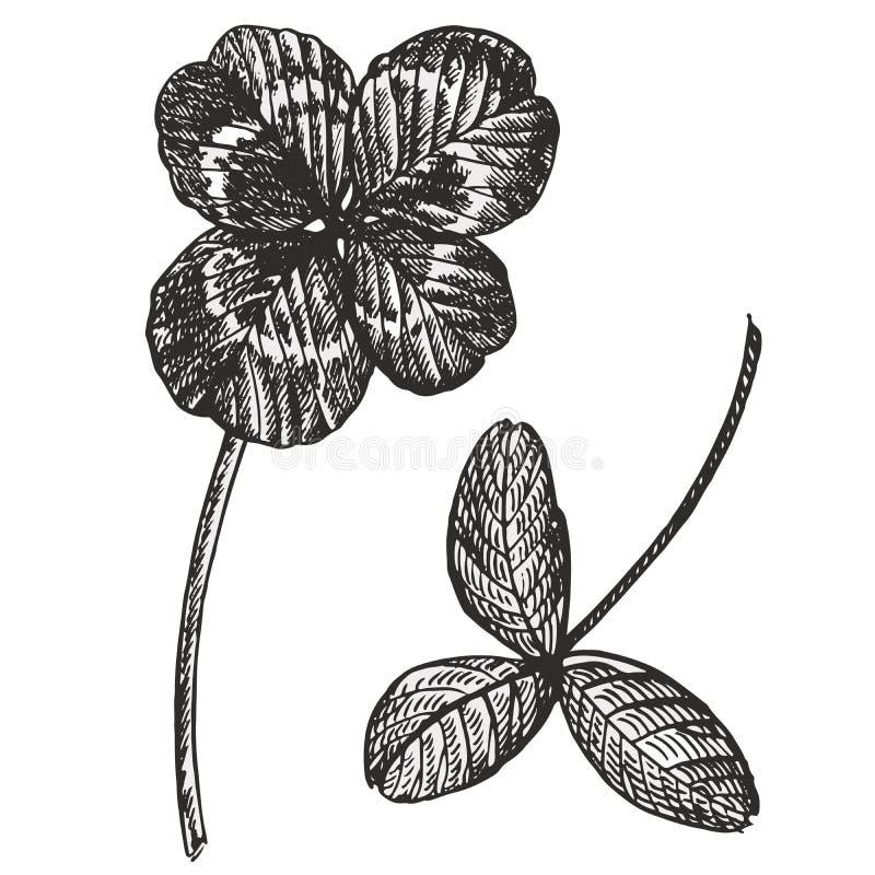 Sistema del vector del trébol Planta silvestre y hojas aisladas en el fondo blanco Ejemplo grabado herbario del estilo detallado ilustración del vector