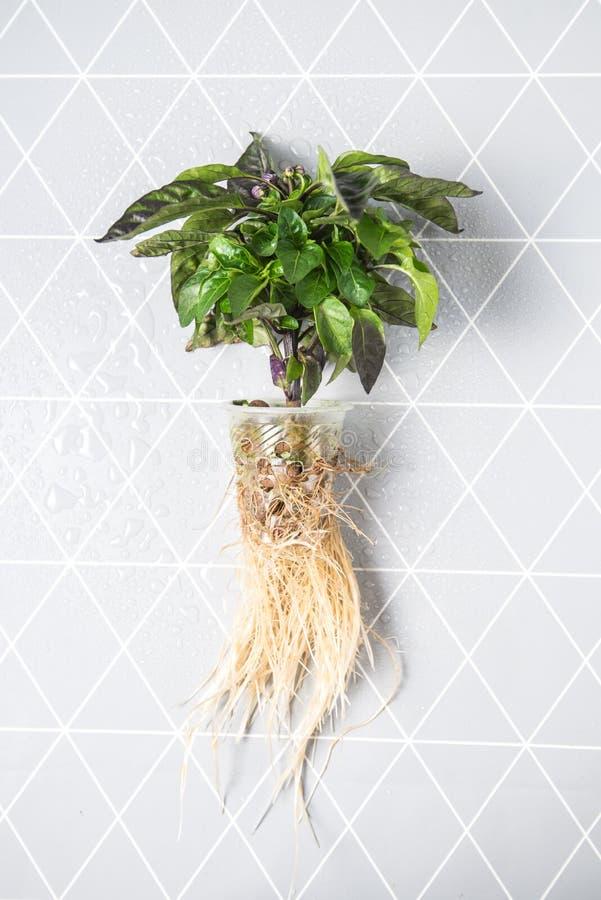 Sistema della coltura idroponica, piante crescenti senza suolo sul registro fotografie stock
