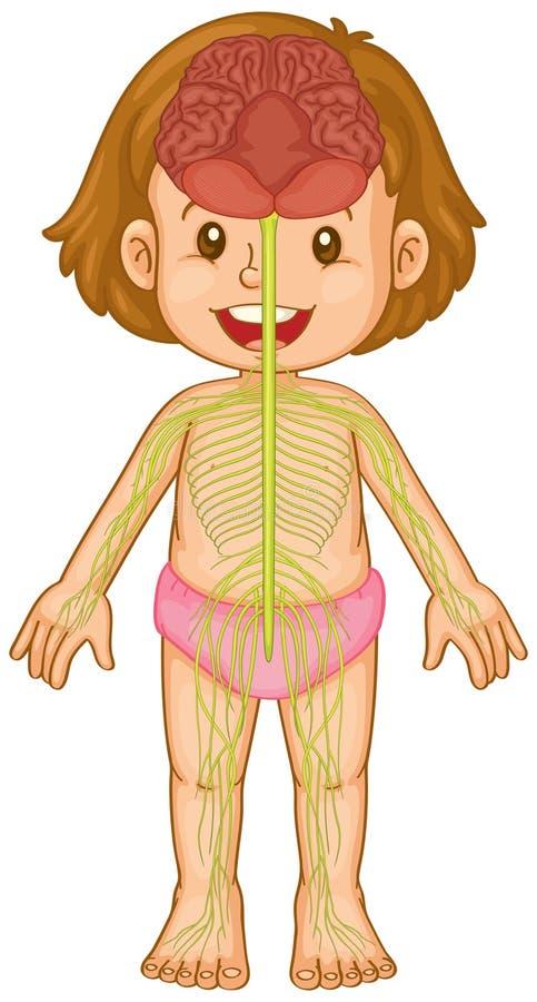 Sistema di cervello nel corpo umano illustrazione di stock