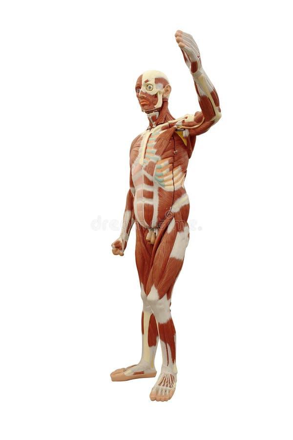 Sistema di muscolo maschio fotografie stock