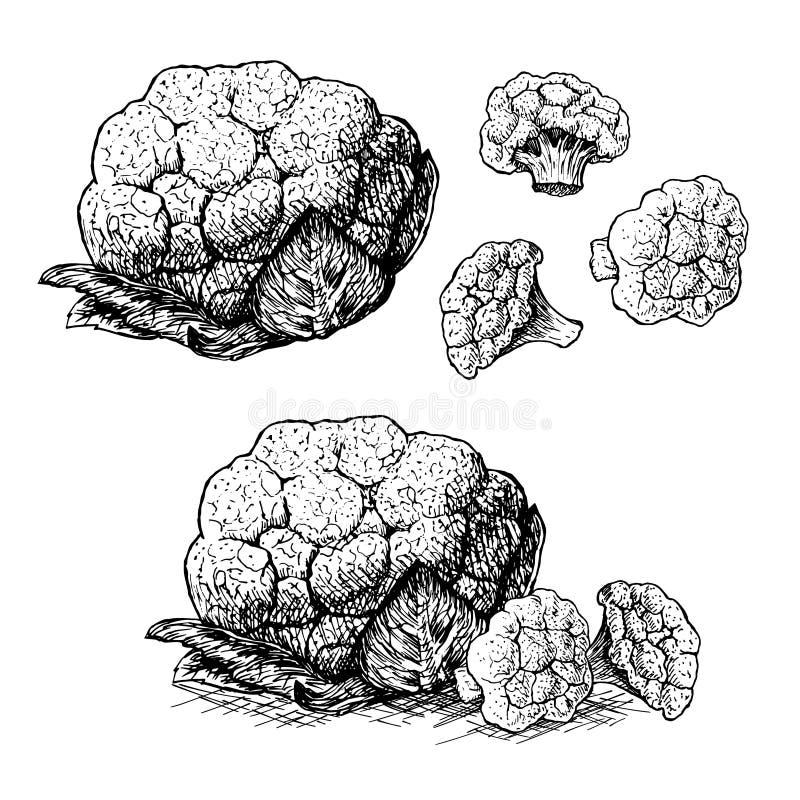 Sistema dibujado mano de la coliflor Bosquejo del vector ilustración del vector