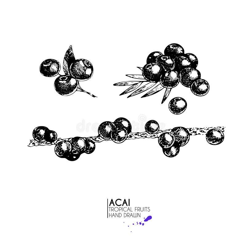 Sistema dibujado mano del vector de frutas exóticas Sistema berrry del acai de Ioslated Arte grabado Objetos vegetarianos tropica ilustración del vector