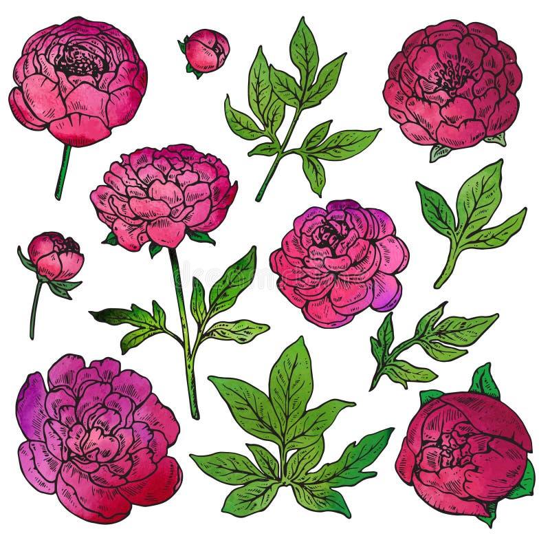 Sistema dibujado mano del vector de las flores de la peonía del color ilustración del vector