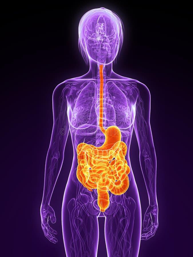 Sistema digestivo royalty illustrazione gratis