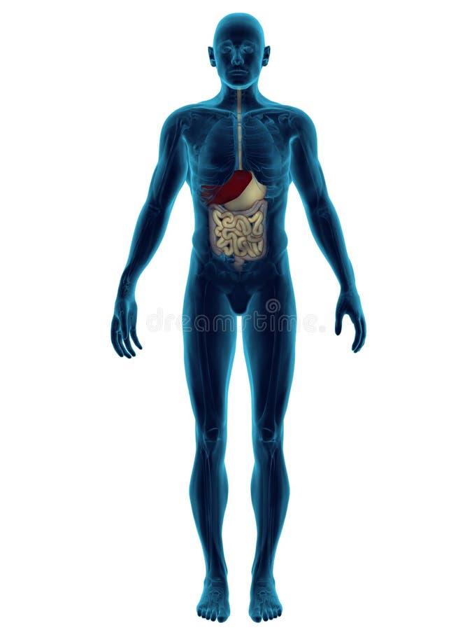 Sistema digestivo illustrazione vettoriale