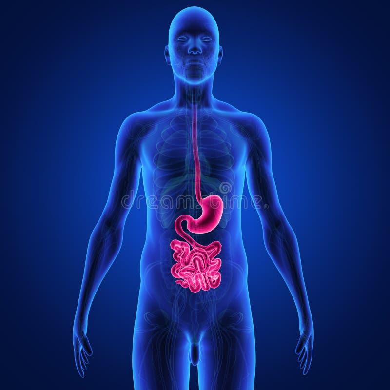 Sistema digestivo ilustração stock