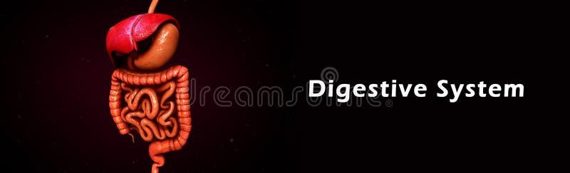 Sistema digestivo imagen de archivo