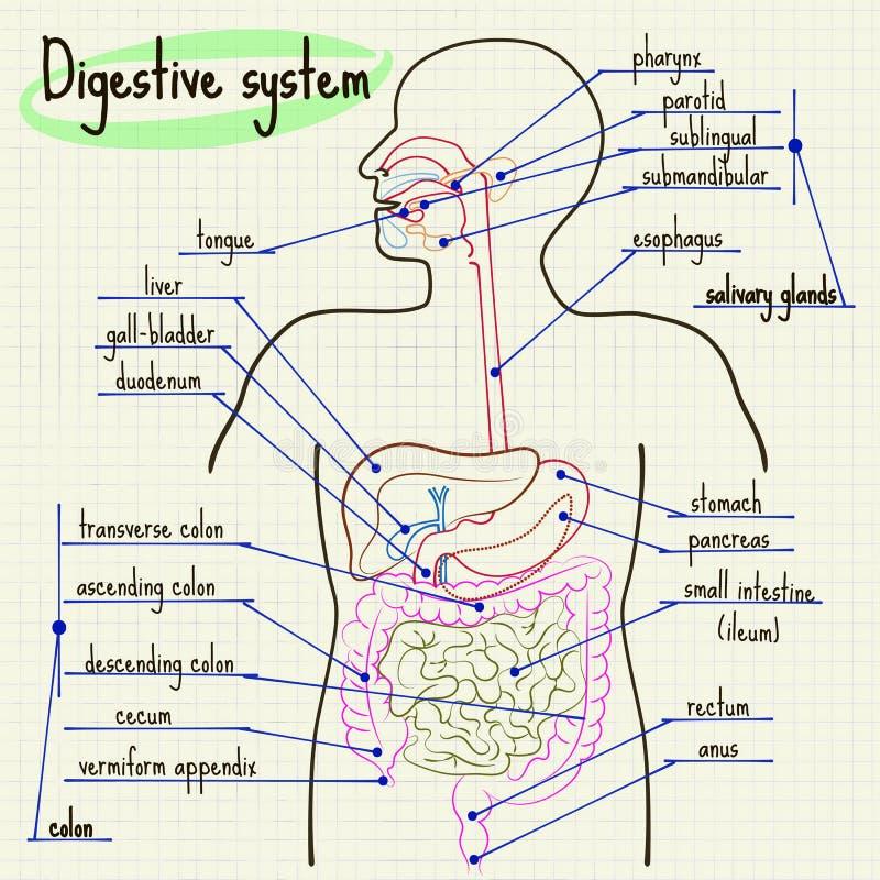Sistema digestivo de homem ilustração royalty free