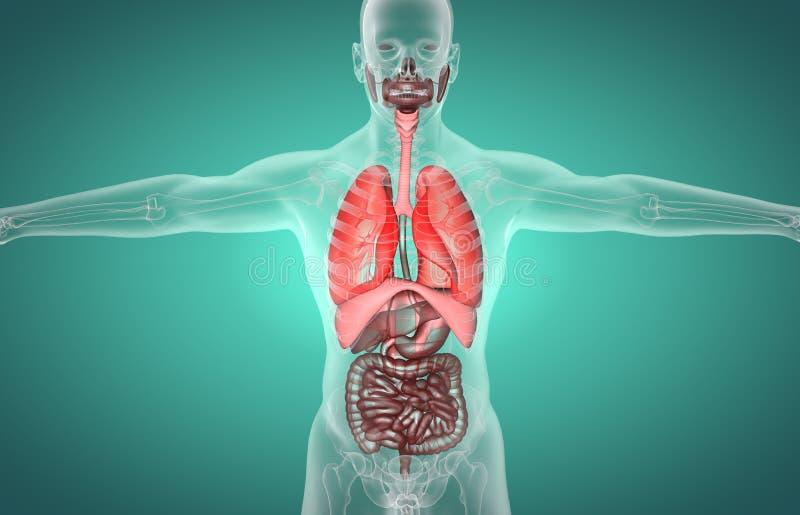 sistema digestivo de la radiograf?a masculina humana 3D libre illustration